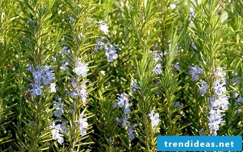 hardy balcony plants Rosemary