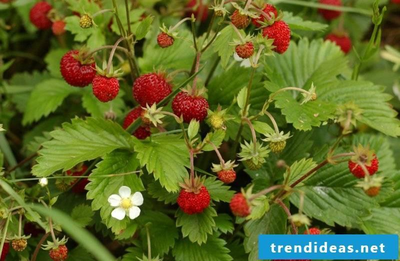 hardy fruit plants