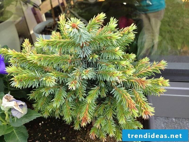 hardy balcony plants dwarf conifers
