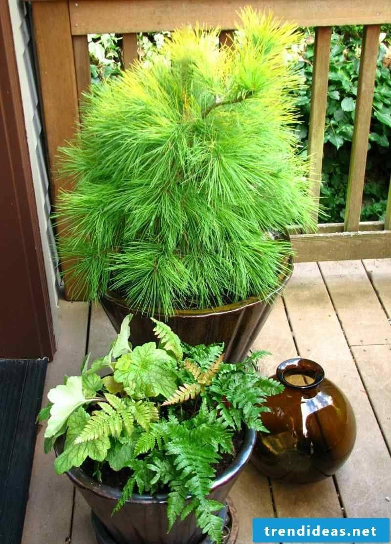 Hardy balcony plants
