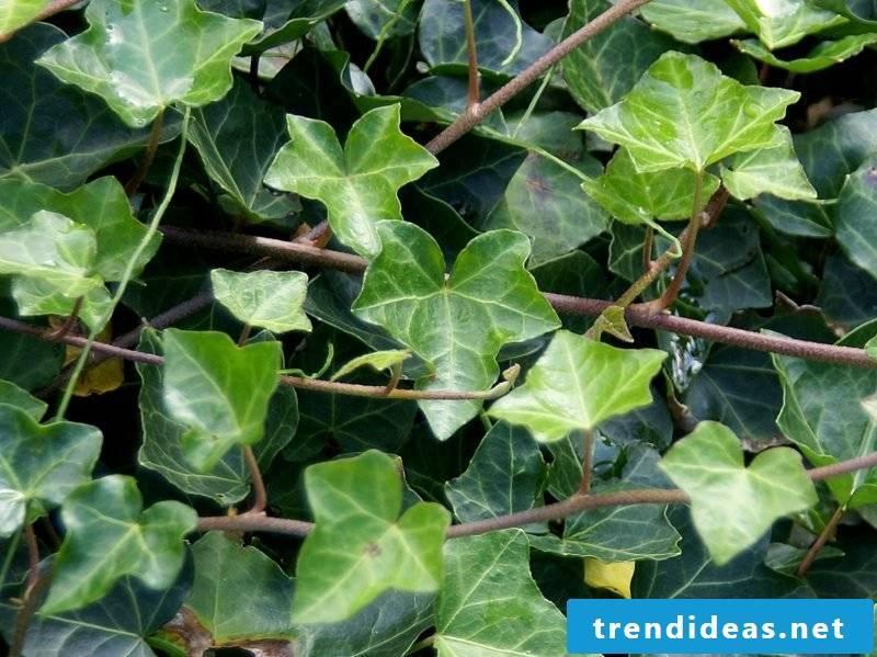 evergreen groundcover ivy