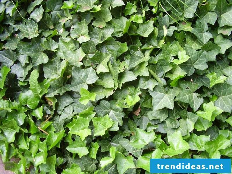 evergreen groundcover ivy Hedera Helix