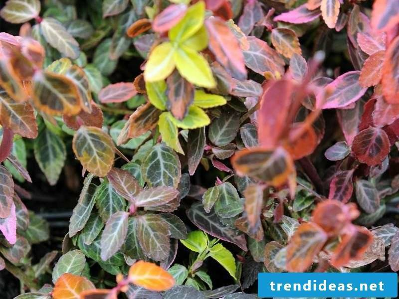 Creeping spindle evergreen