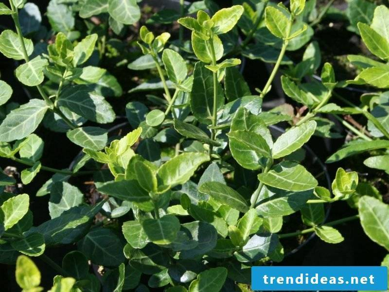 evergreen creeping spindle
