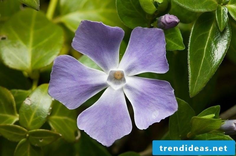 Evergreen purple blossomed