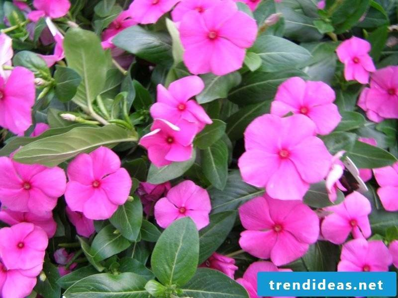 Evergreen pink blossomed