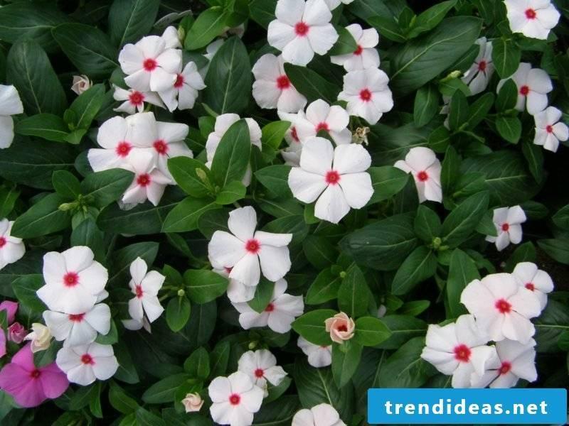 Evergreen white flowers