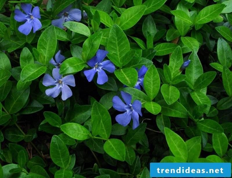 Garden design evergreen groundcover