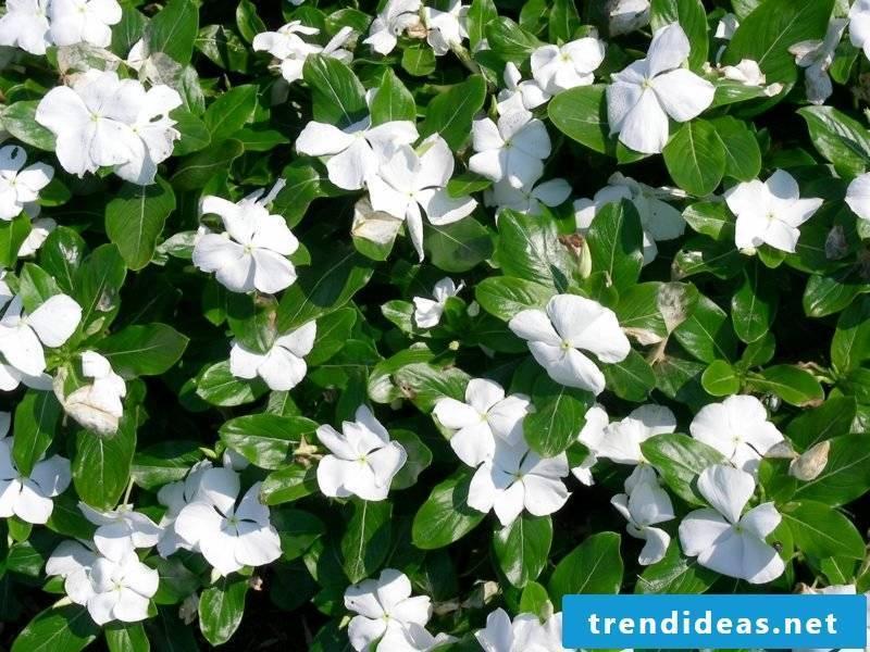 white flowering evergreen