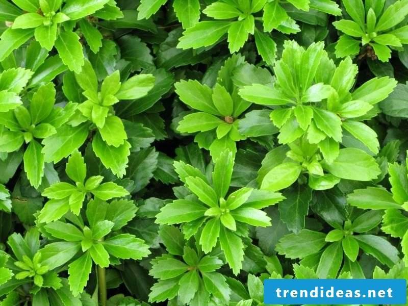 evergreen ground cover Ysander