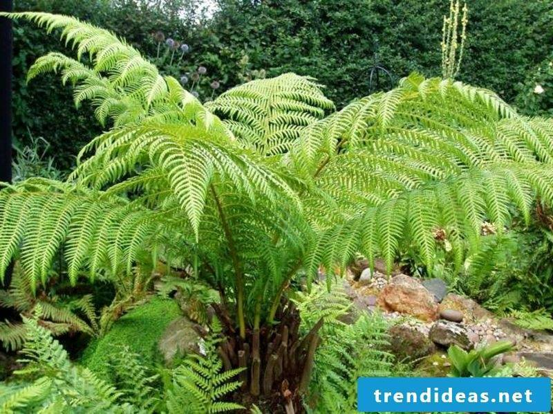 shade-loving plant species of large ferns