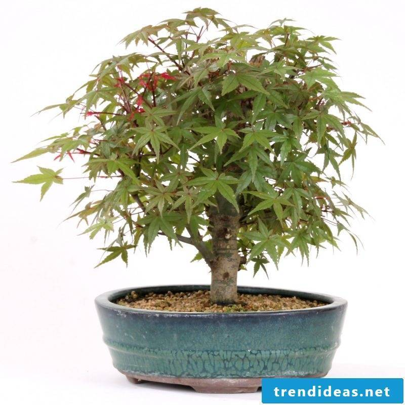 Bonsai species Acer palmatum