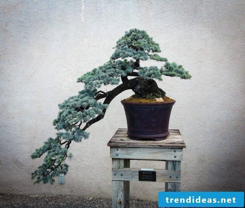 Bonsai species guide