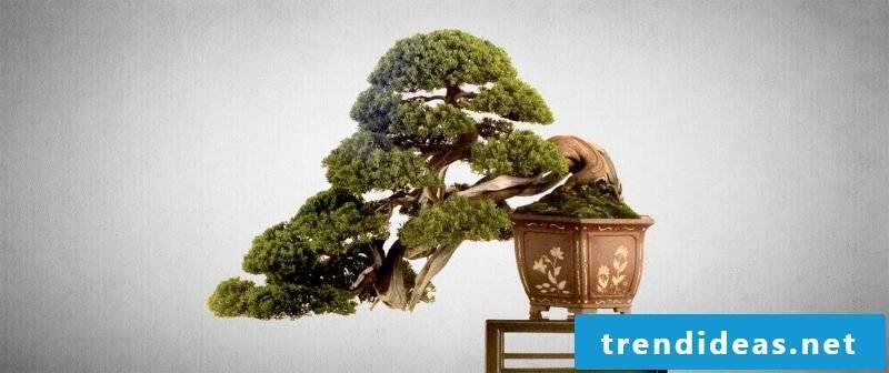 Bonsai species Baume