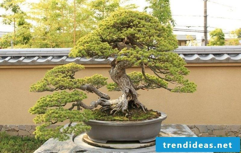 Bonsai species Japanese girl pine