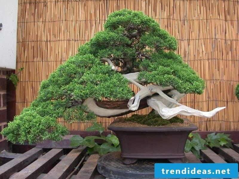 Bonsai species Juniper