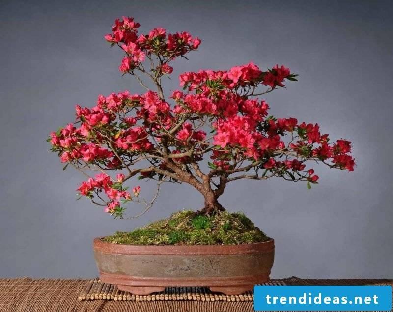 Bonsai species red