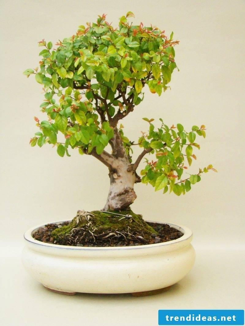 Bonsai species Sageterie