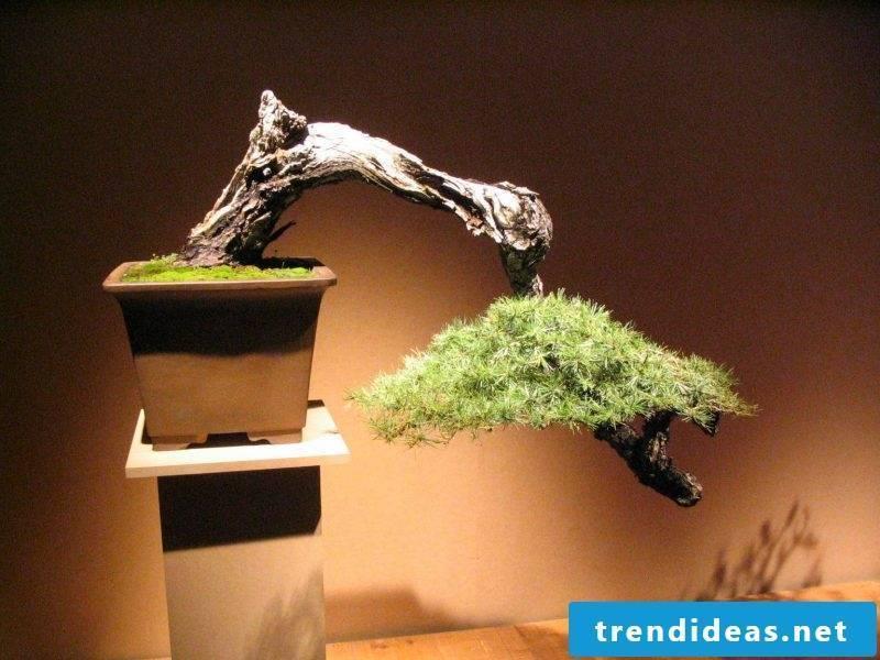 Bonsai species Stylish