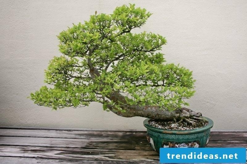 Bonsai species Ulmus Parvifolia