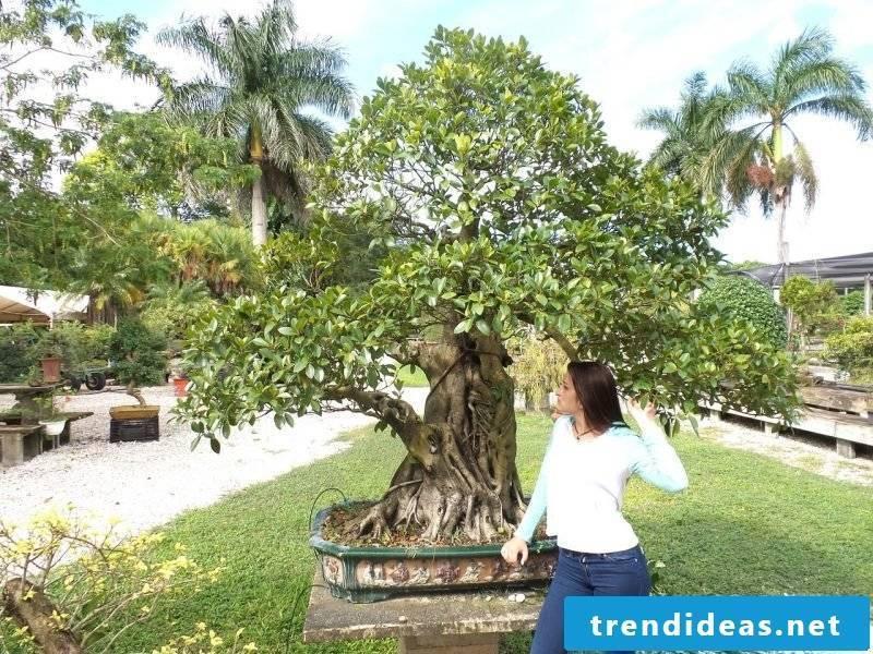 Bonsai species Ficus