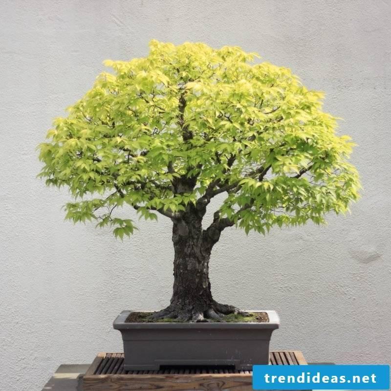 Bonsai species Japanese Zelkowe