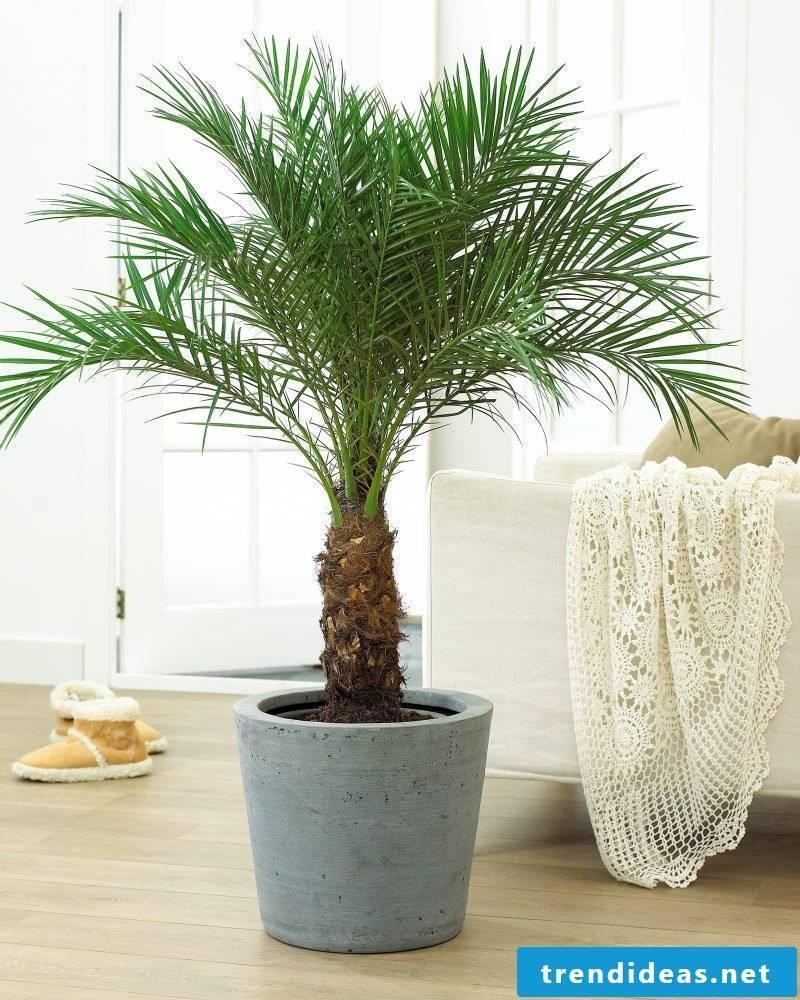Palm tree species