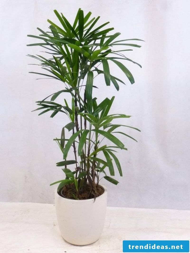 Palm palmtree