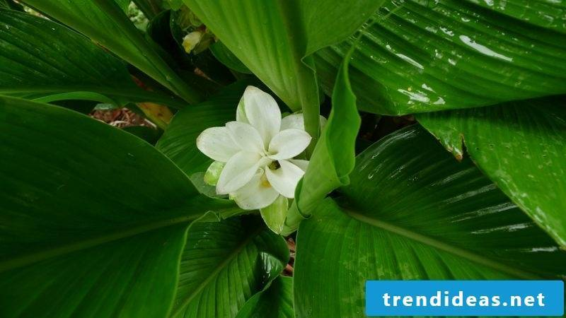 Curcuma plant: miracle cure for garden, balcony and terrace!