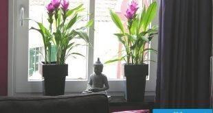 Curcuma plant as a houseplant
