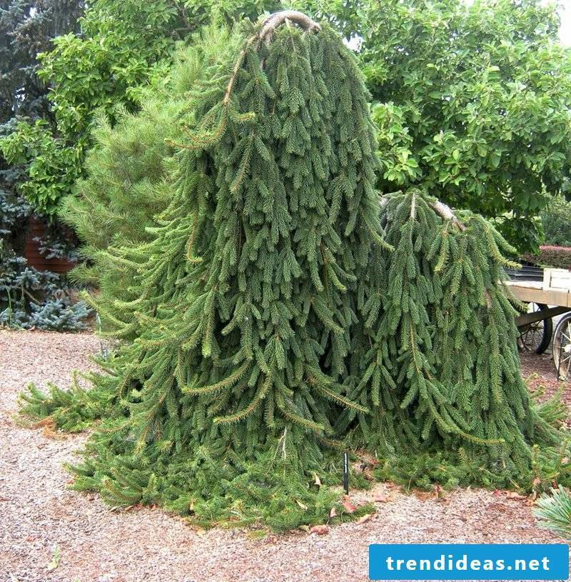 evergreen tree weeping norway spruce