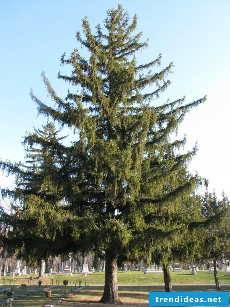 evergreen tree spruce
