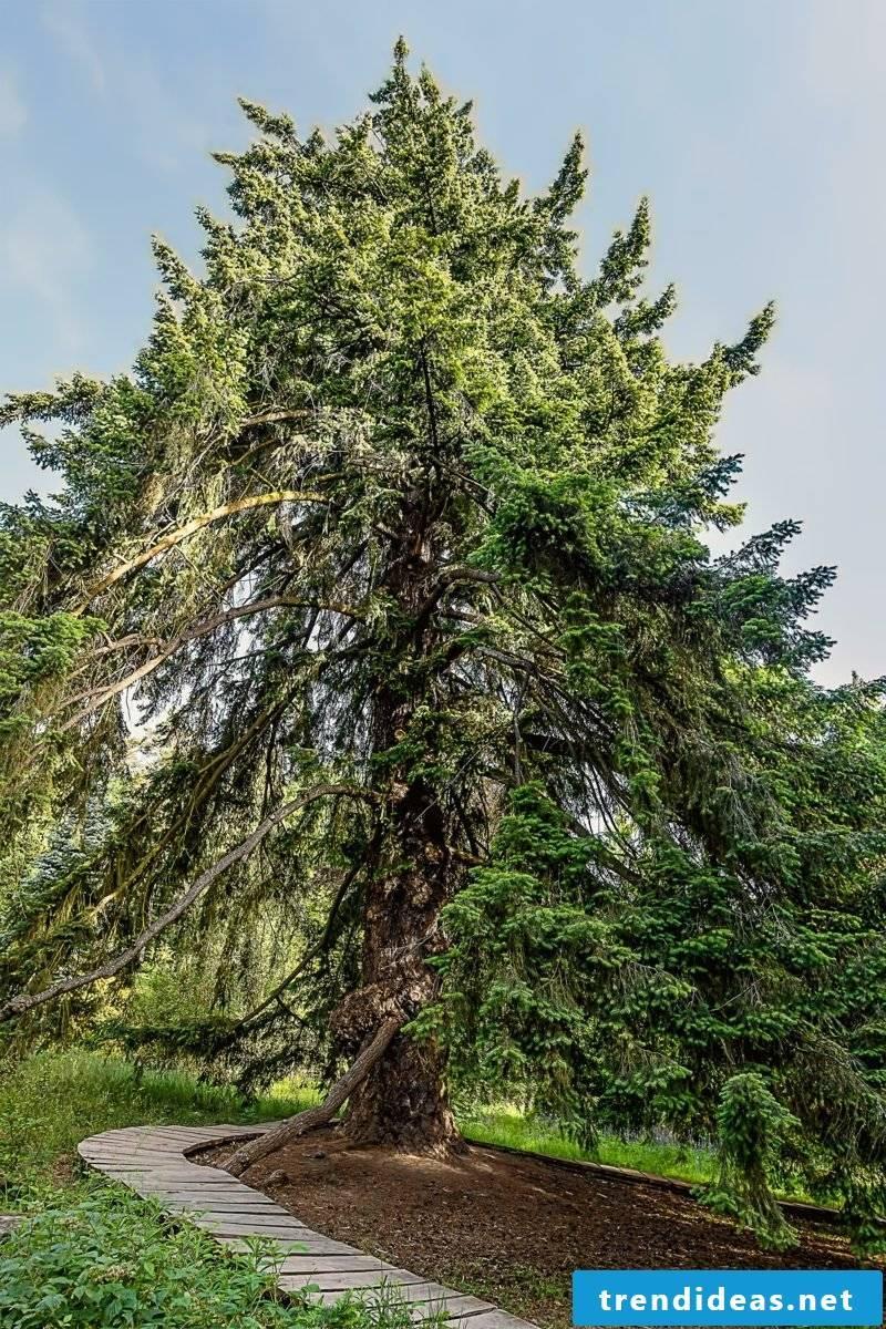 evergreen baume douglasfir