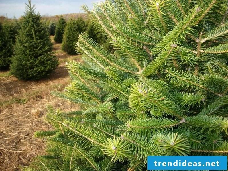 evergreen tree canaan