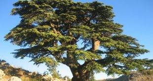 Evergreen trees - differentiation