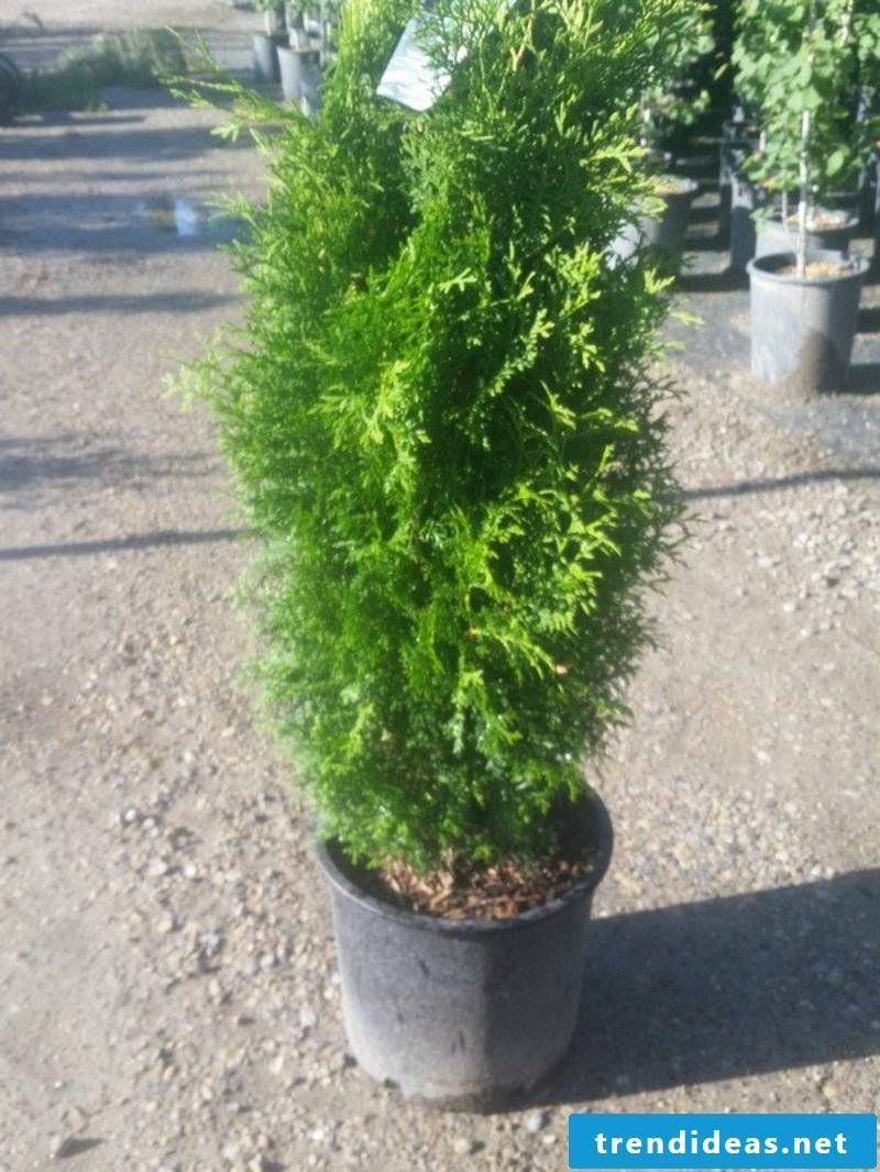 evergreen baume cedar