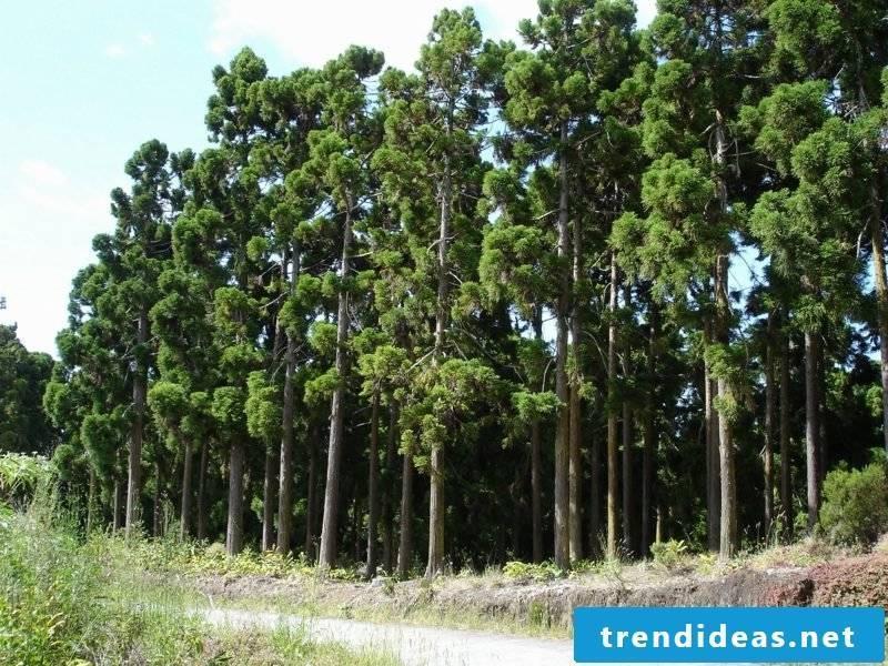 evergreen-baume-cryptomeria-saint-gilles