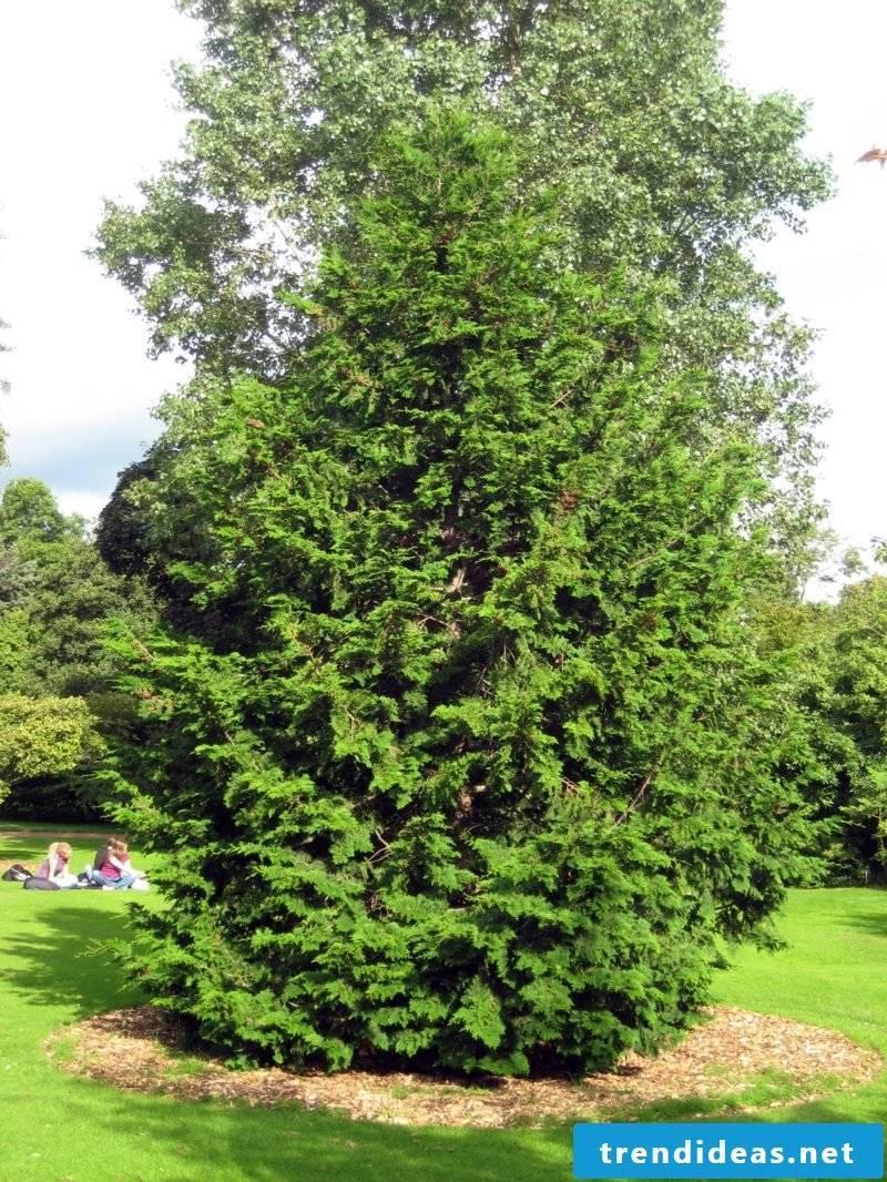 evergreen-baume-chamaecyparis_obtusa_rbge_2008