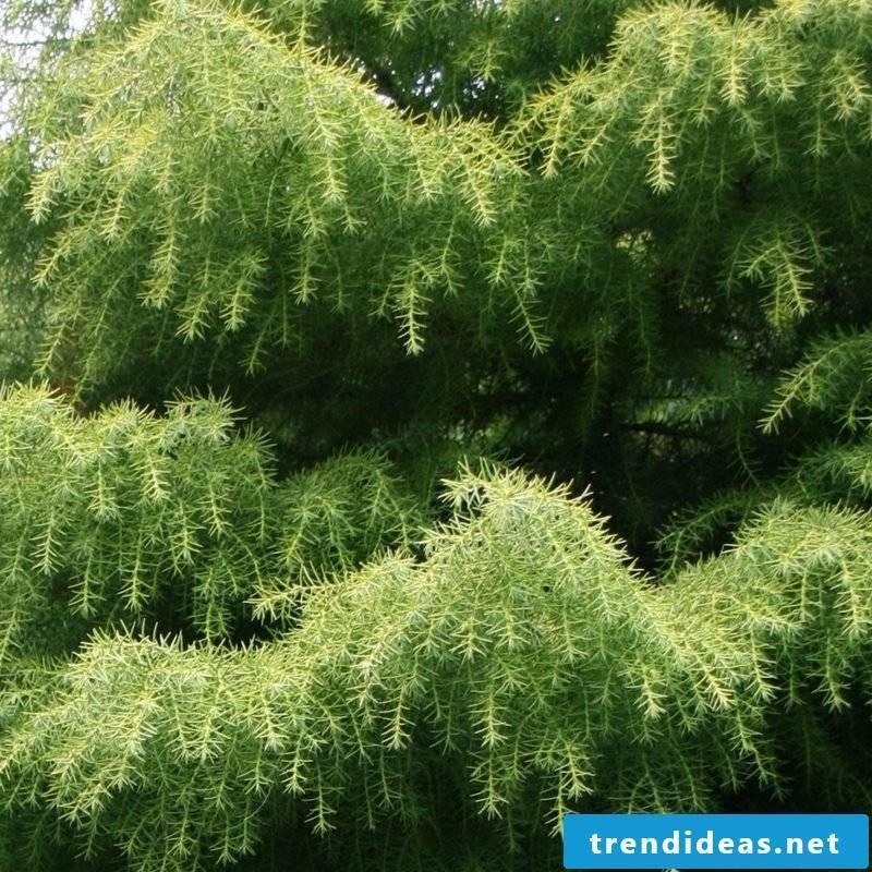 evergreen-baume-1343399076-38589000