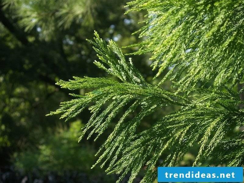 evergreen-baume-l-28933952-0