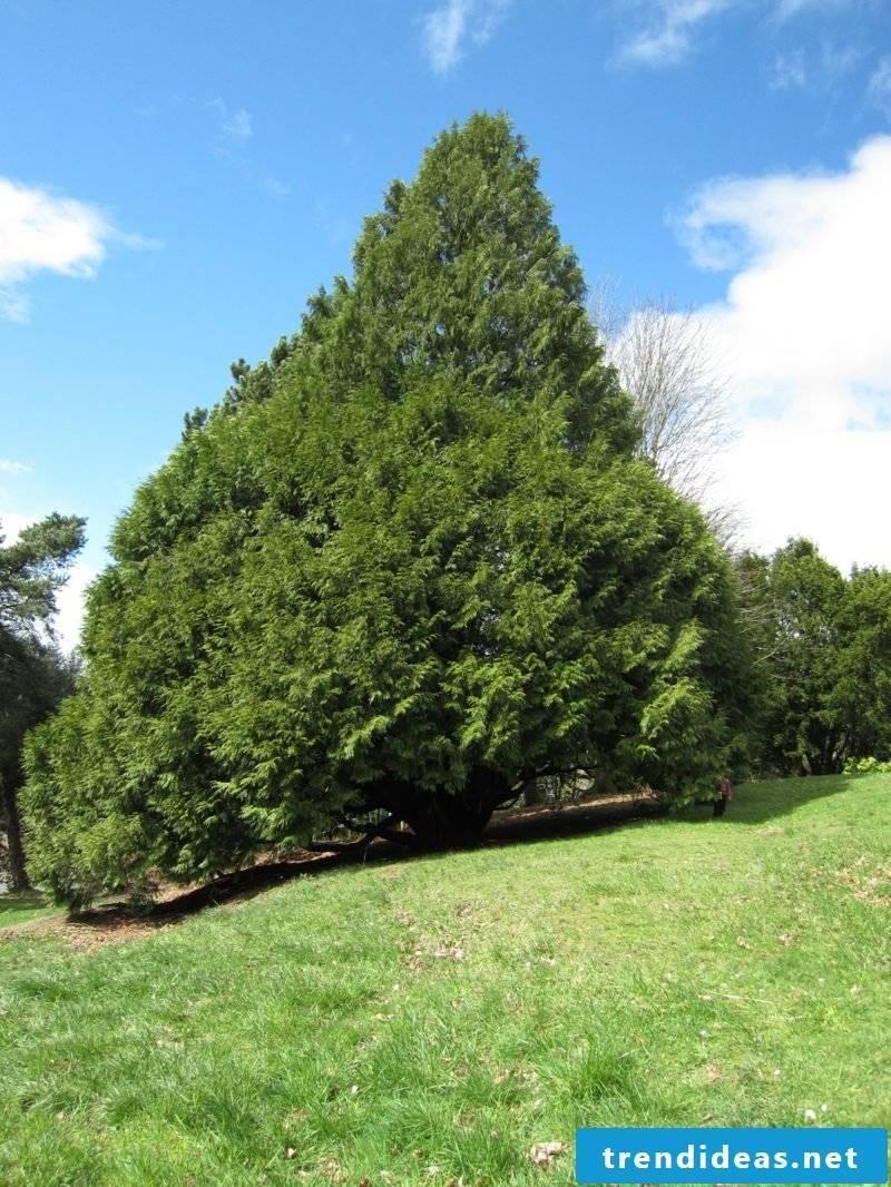 evergreen-baume-img_2645