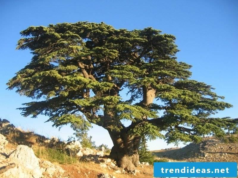 evergreen tree-c-% c3% a8dre_du_liban_barouk_2005