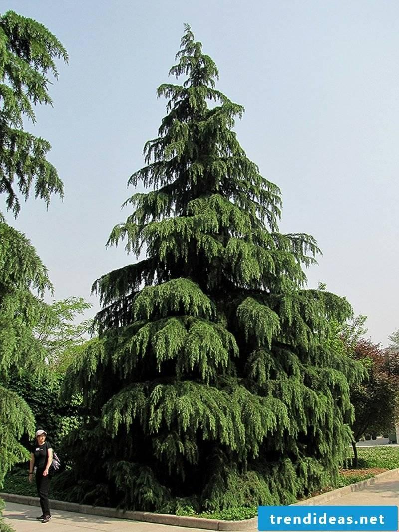 evergreen-baume-g094-19