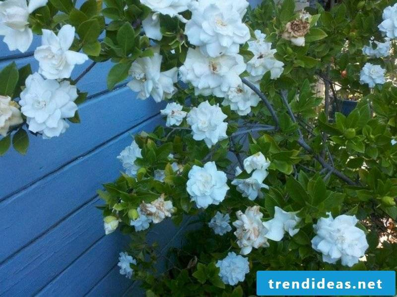 Gardenia plant species Feng Shui garden