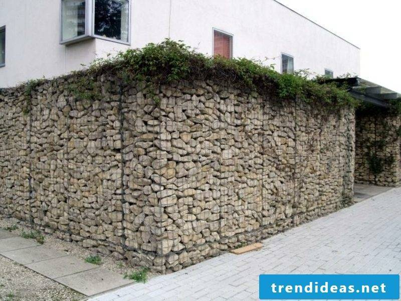 Gabion fence and climbing plants