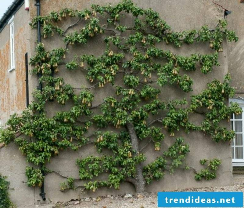 Trellis on the house facade fruit tree creative ideas