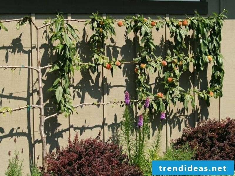 Wooden trellis peach tree garden