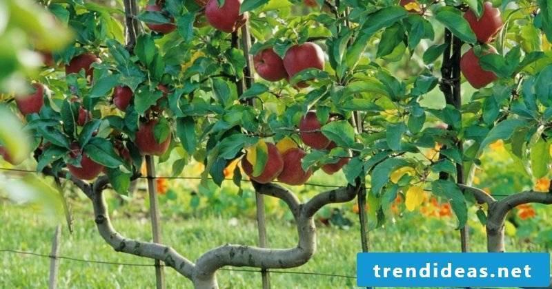 Growing trellis fruit apple tree double U-trellis