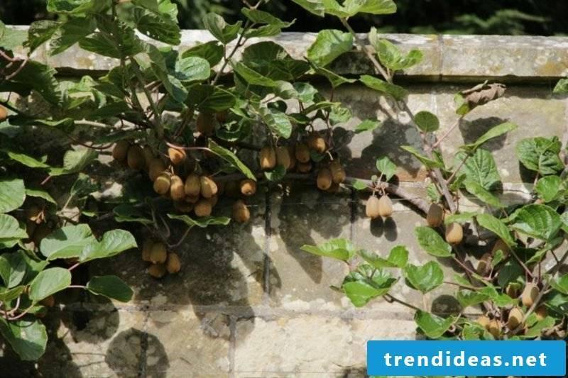 Trellis fruit grow kiwi exotic