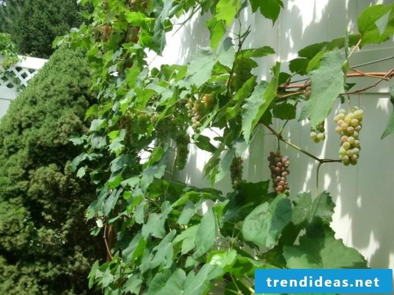 Grapevine trellis garden design ideas